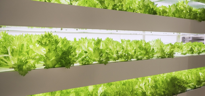 "Indoor ""Farm in a Box"" growing lettuce"